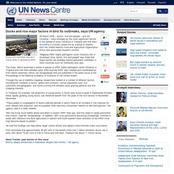 ONU 26/03/08 Ducks and rice major factors in bird flu outbreaks, says UN agency