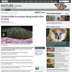 BBC Nature - Corals inflate to escape being buried alive in sand