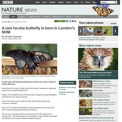 BBC Nature - A rare he-she butterfly is born in London's NHM