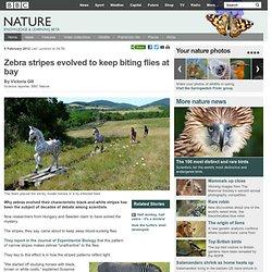 BBC Nature - Zebra stripes evolved to keep biting flies at bay
