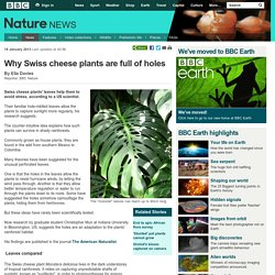 BBC Nature - Why Swiss cheese plants are full of holes