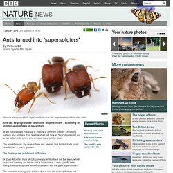 BBC Nature - Ants turned into 'supersoldiers'
