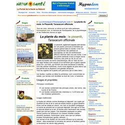 La chronique d'Homeophyto.com - La plante du mois: le Pissenlit, Taraxacum officinale