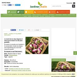 Navet : semis, culture et récolte des navets