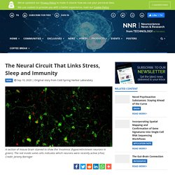 The Neural Circuit That Links Stress, Sleep and Immunity