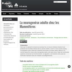 La neurogenèse adulte chez les Mammifères