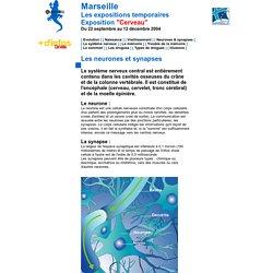 Les neurones et synapses du cerveau . Le système nerveux. Museum d'Histoire Naturelle de Marseille - France