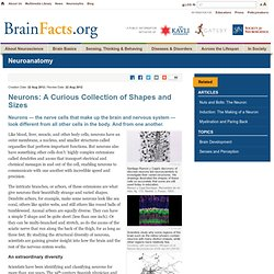 Neurons: A Curious Collection of Shapes and Sizes