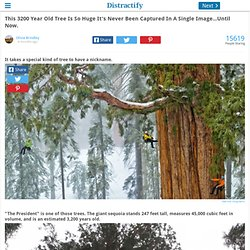 This 3200 Year Old Tree Is So Huge It's Never Been Captured In A Single Image...Until Now.