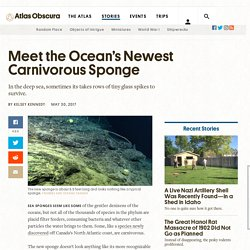 Meet the Ocean's Newest Carnivorous Sponge - Atlas Obscura