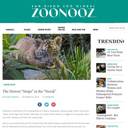 "The Newest ""Stripe"" in the ""Streak"" – ZOONOOZ"