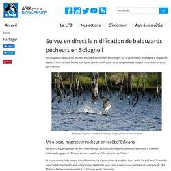 Suivez en direct la nidification de balbuzards pêcheurs en Sologne