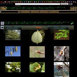 Le noisetier commun (Corylus avellana)