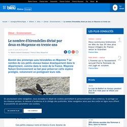 Le nombre d'hirondelles divisé par deux en Mayenne en trente ans