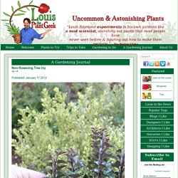 Non-flowering Tree Ivy
