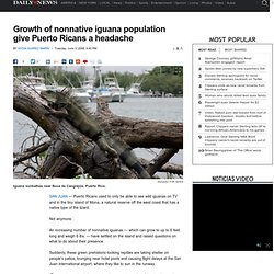 Growth of nonnative iguana population give Puerto Ricans a headache