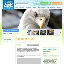 Northern bald eagle - Philadelphia Zoo