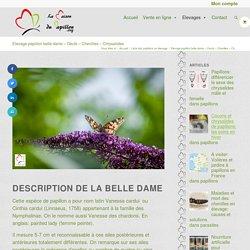 Elevage de la belle dame: nourriture de la chenille et du papillon. Cycle de vie