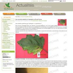 Une nouvelle maladie de l'aubergine en Île-de-France