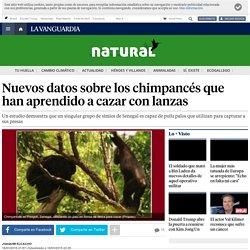 Nuevas datos sobre los chimpancés que aprenden a cazar con lanza