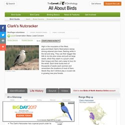 Clark's Nutcracker, Life History, All About Birds - Cornell Lab of Ornithology