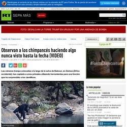 Observan a los chimpancés haciendo algo nunca visto hasta la fecha (VIDEO)