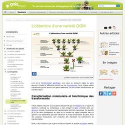 Schéma de l'obtention d'une variété OGM