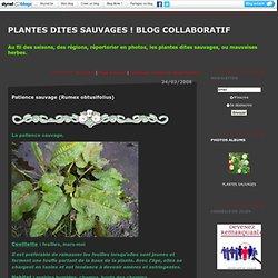 Patience sauvage (Rumex obtusifolius) : Plantes dites sauvages ! Blog collaboratif