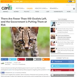 There Are Fewer Than 100 Ocelots Left, And The Government Is Putting Them At Risk
