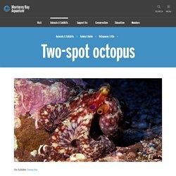 Two-spot octopus, Reefs & Pilings, Octopuses & Kin, Octopus bimaculoides at the Monterey Bay Aquarium