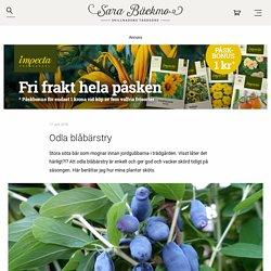 Odla blåbärstry - Sara Bäckmo