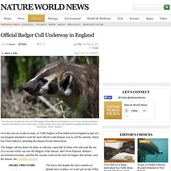 Official Badger Cull Underway in England : Animals
