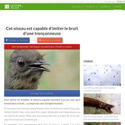 Cet oiseau est capable d'imiter le bruit d'une tronçonneuse