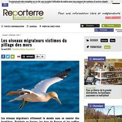 Les oiseaux migrateurs victimes du pillage des mers