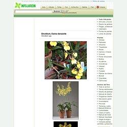 Oncidium, Dama danzante - Oncidium spp.