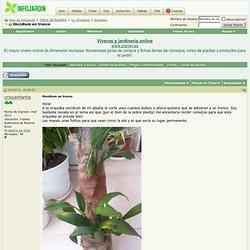 Oncidium en tronco
