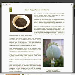 Today is...Fava Beans!: Opium Poppy (Papaver somniferum)