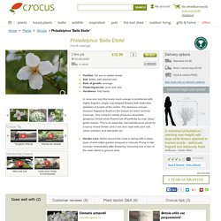 Buy mock orange Philadelphus 'Belle Etoile': Delivery by Crocus