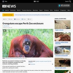 Orangutans escape Perth Zoo enclosure