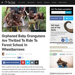 Orphaned Baby Orangutans Are Thrilled To Ride To Forest School In Wheelbarrows
