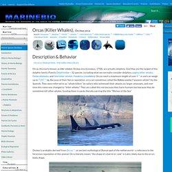 Orcas (Killer Whales), Orcinus orca