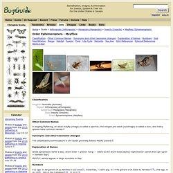 Order Ephemeroptera - Mayflies- à la famille (USA)