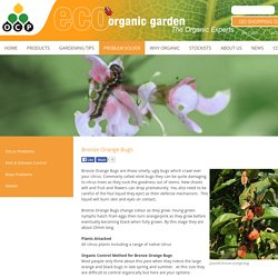Organic control of bronze orange bugs - eco-organic garden by OCP