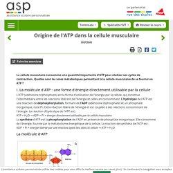 Origine de l'ATP dans la cellule musculaire