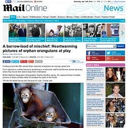 Orphan orangutans in Borneo