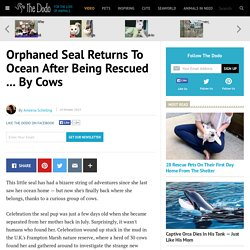 Orphaned Seal Returns To Ocean After Being Rescued ... By Cows