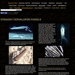 ORTHOCERAS STRAIGHT CEPHALOPOD FOSSILS
