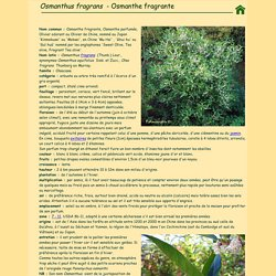 Osmanthus fragrans - Osmanthe fragrante