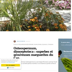 Osteospermum, dimorphoteca : superbes et généreuses marguerites du Cap
