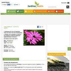 Osteospermum : plantation, taille et entretien